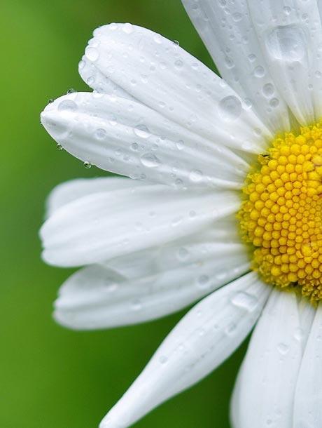 rd-daisy-dew